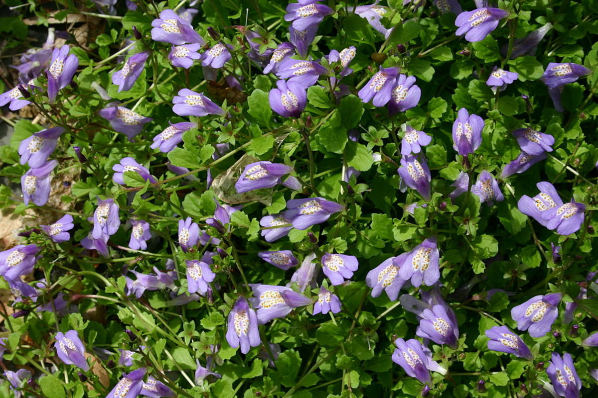 Mazus reptans is a lovely green when not in bloom.
