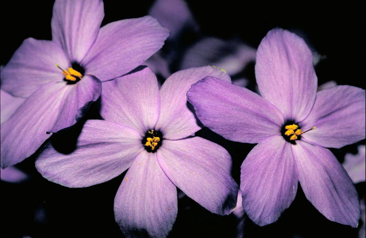 Phlox subulata