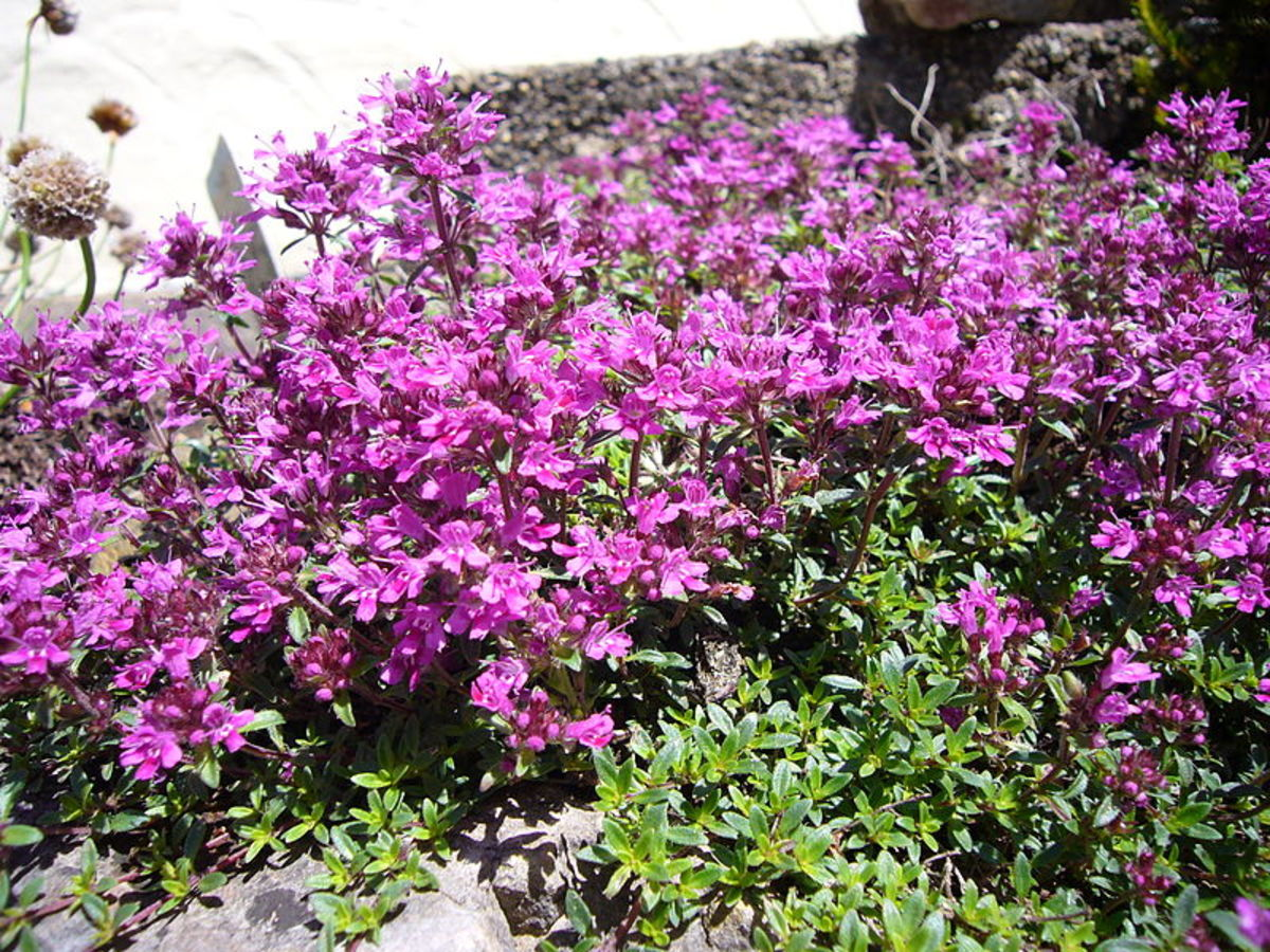 Red creeping thyme grows close to the ground, creating a mat that leaves no room for weeds.
