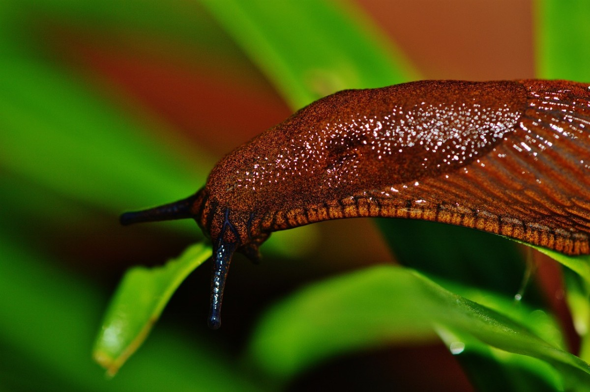 Slugs are a common garden pest responsible for holes chewed in leaves.