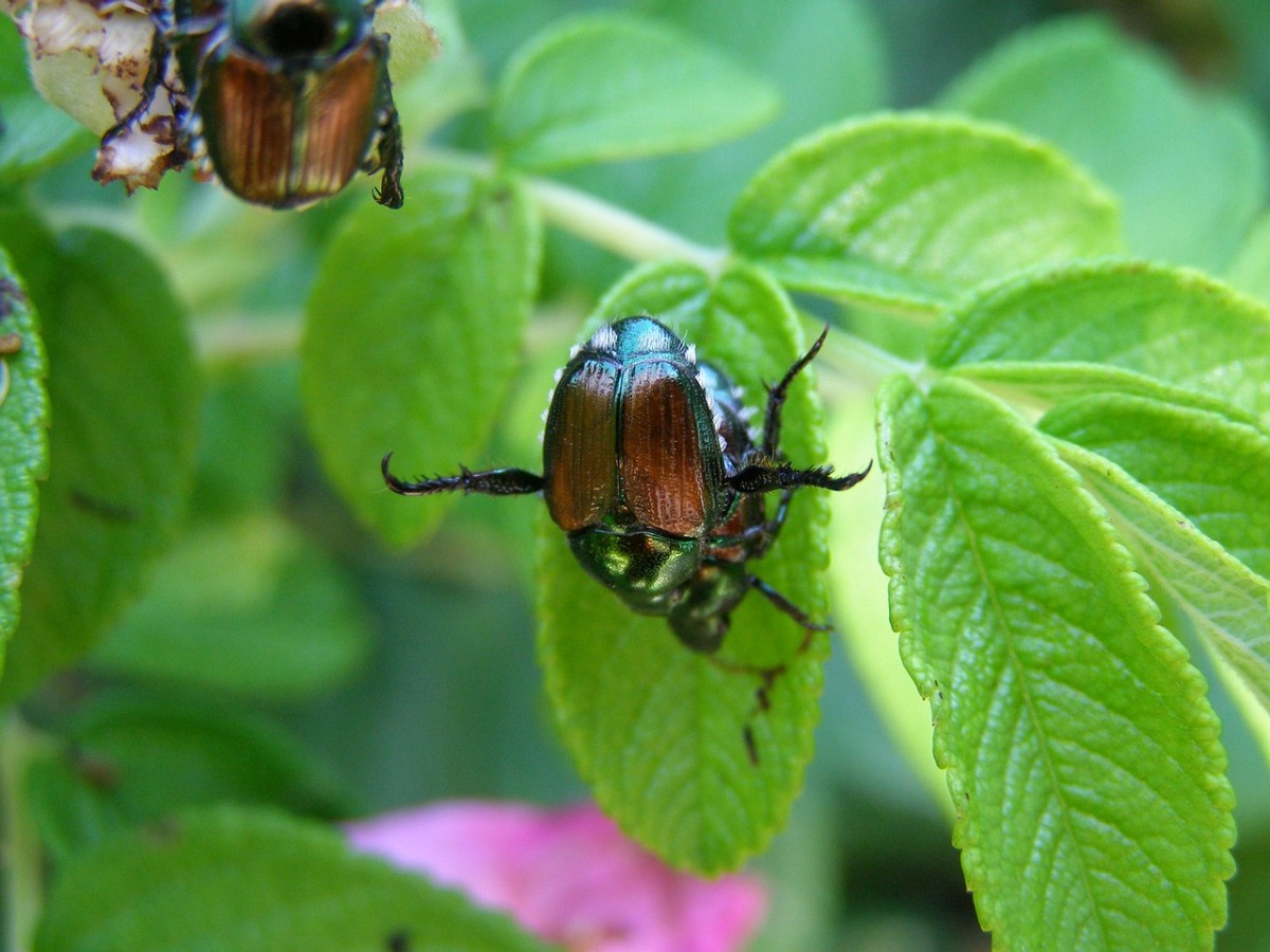 Japanese beetles, making more Japanese beetles.