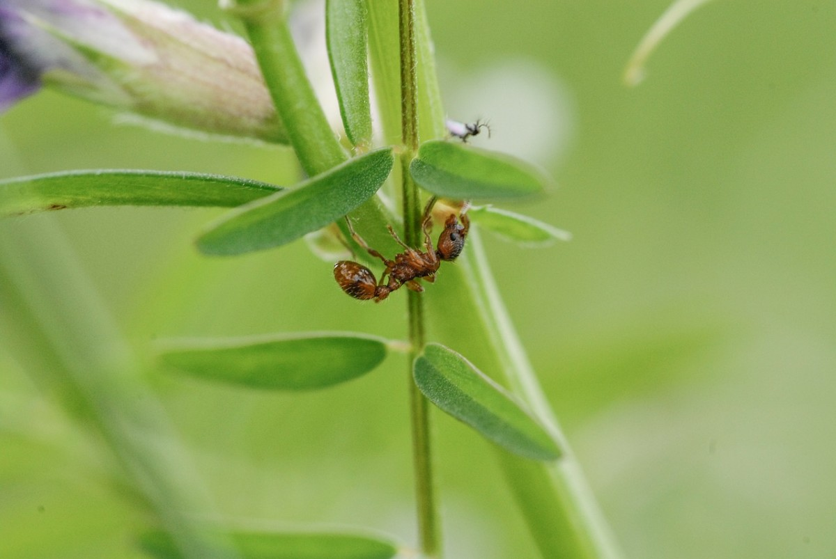 Leafcutter ants are only a problem in the far South, but they can destroy entire trees.