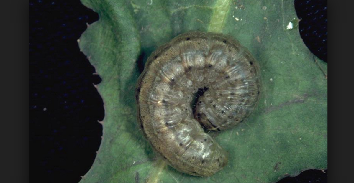 A cutworm in characteristic rolled-up pose: These large caterpillars typically feed at night and often eat through stems at ground level.