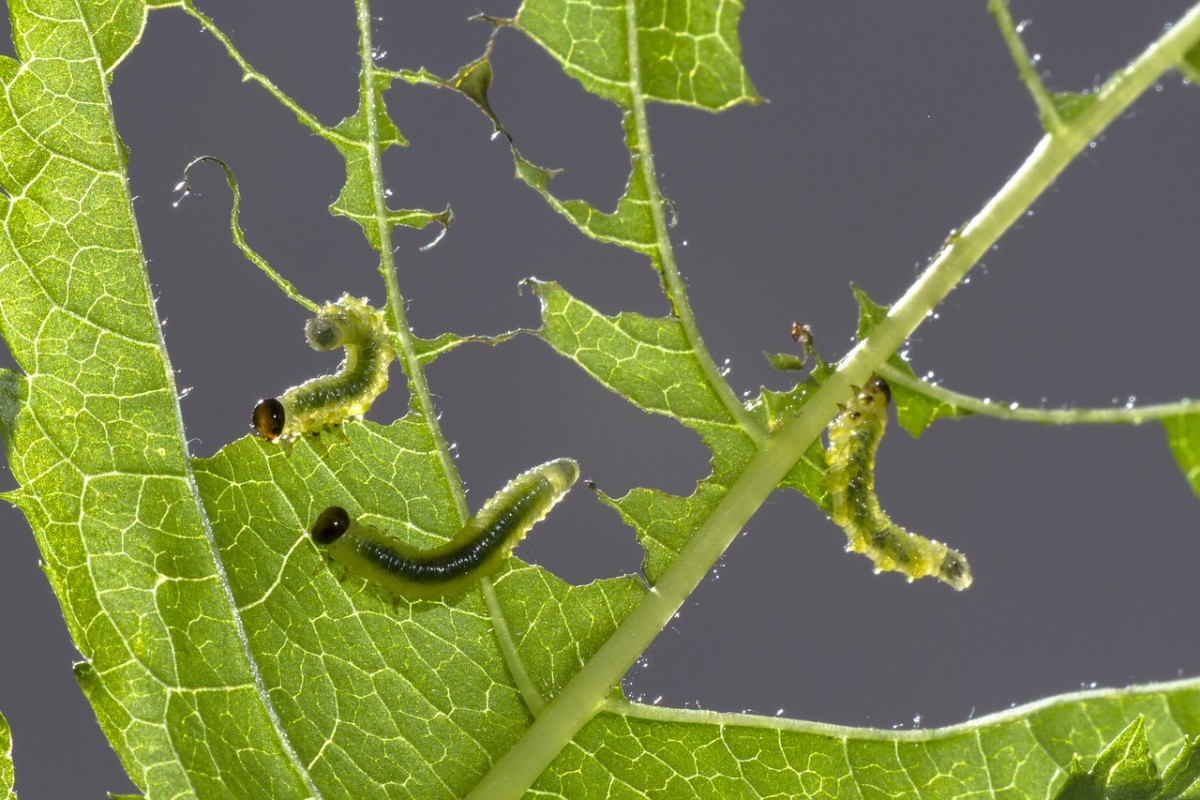 Sawflies look and act like caterpillars, but they're the larvae of a small stingless wasp.