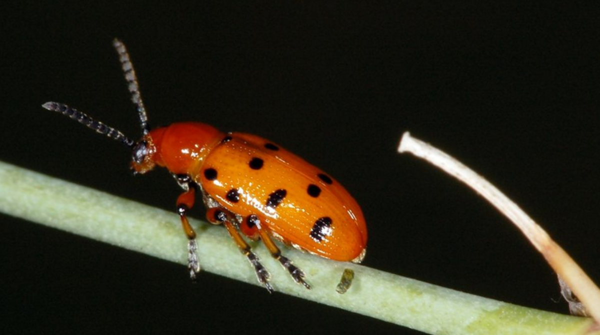 The spotted version of the asparagus beetle.