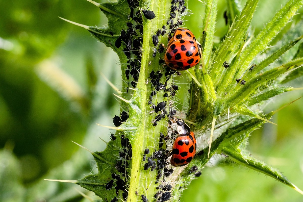 An aphid colony under attack from lady bugs.