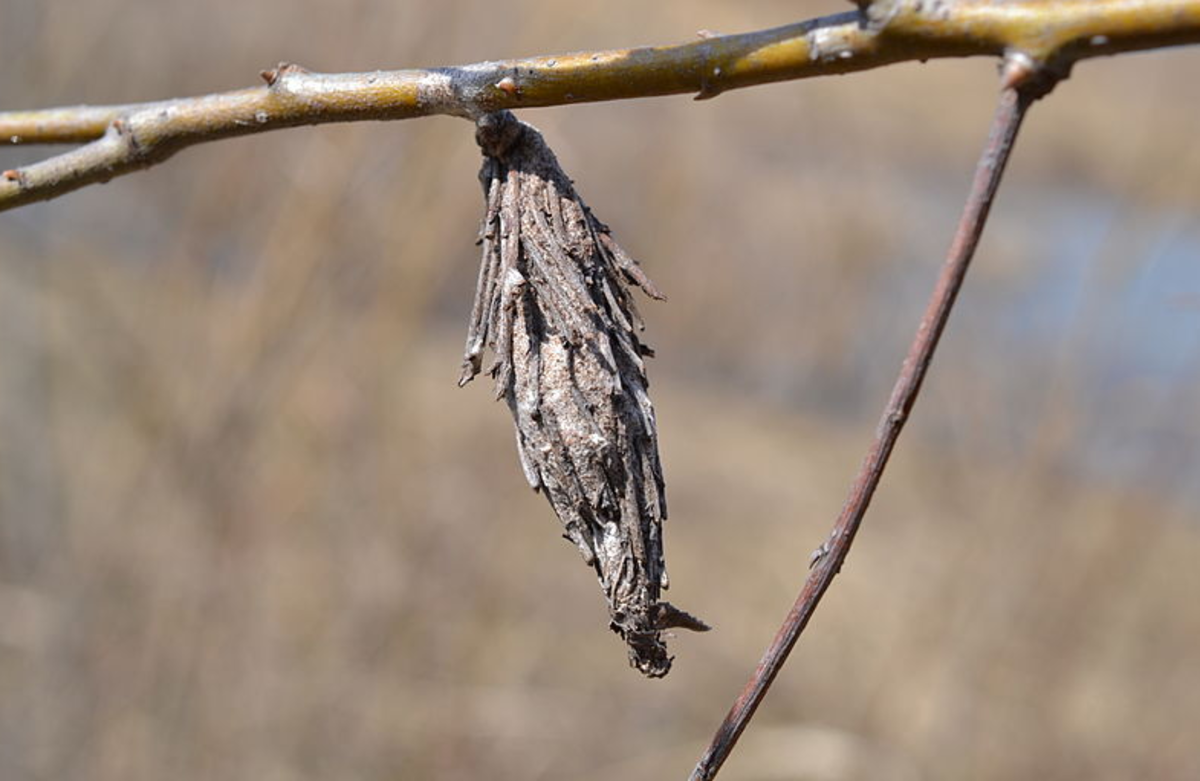 Bagworms have a very unusual life-cycle: The caterpillars never leave the bag-like shelter they construct.