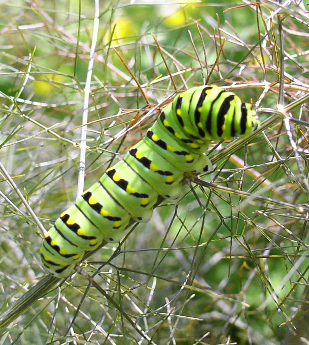 "Black swallowtail caterpillar: Some gardeners see them as a ""pest"" but to others, they're just beautiful butterflies."