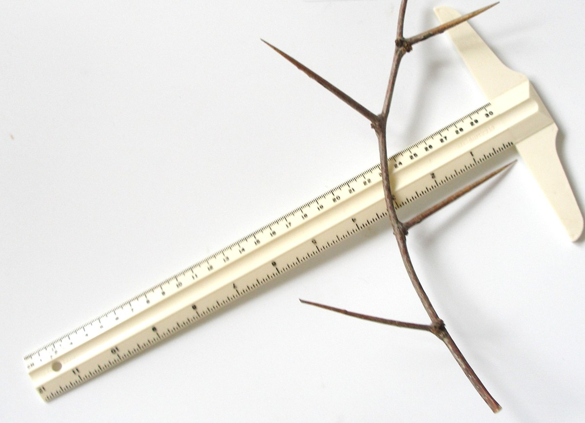 Here is a close-up view of a twig from a Mesquite tree in North Texas lying next to a ruler so you can see how long and wicked the thorns are.