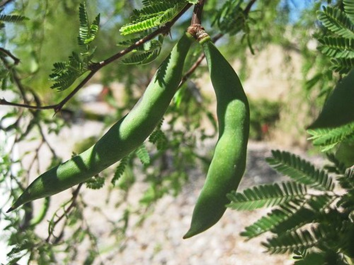 Mesquite seedpods have a sweet outer coating that is delicious to chew.  The seedpods can get up to 10 inches long.