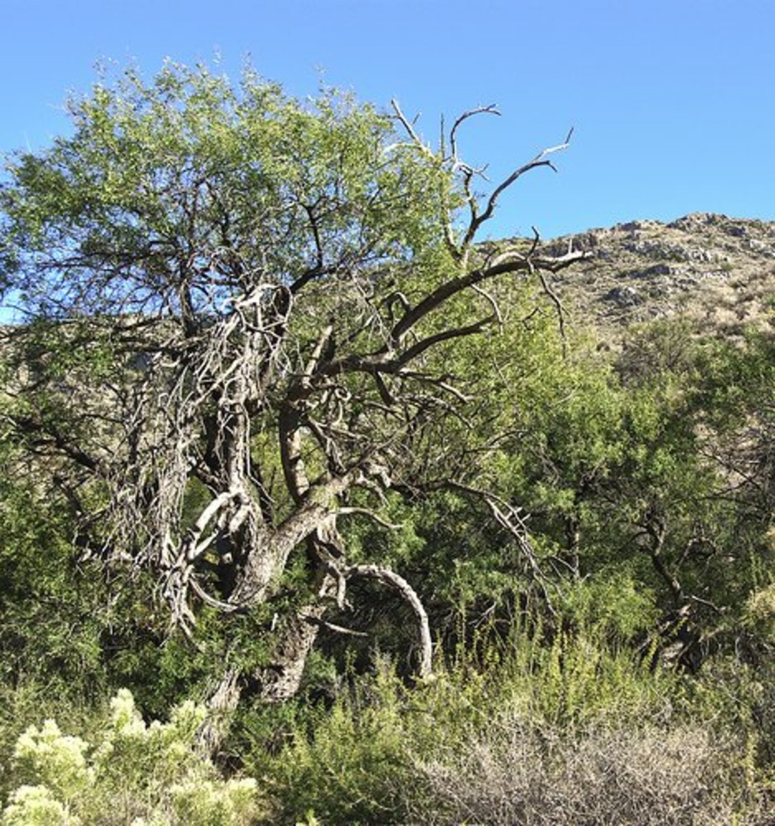 Many mesquite trees look scrubby.  They can thrive in any soil except soggy soil and will take over if allowed to do so.