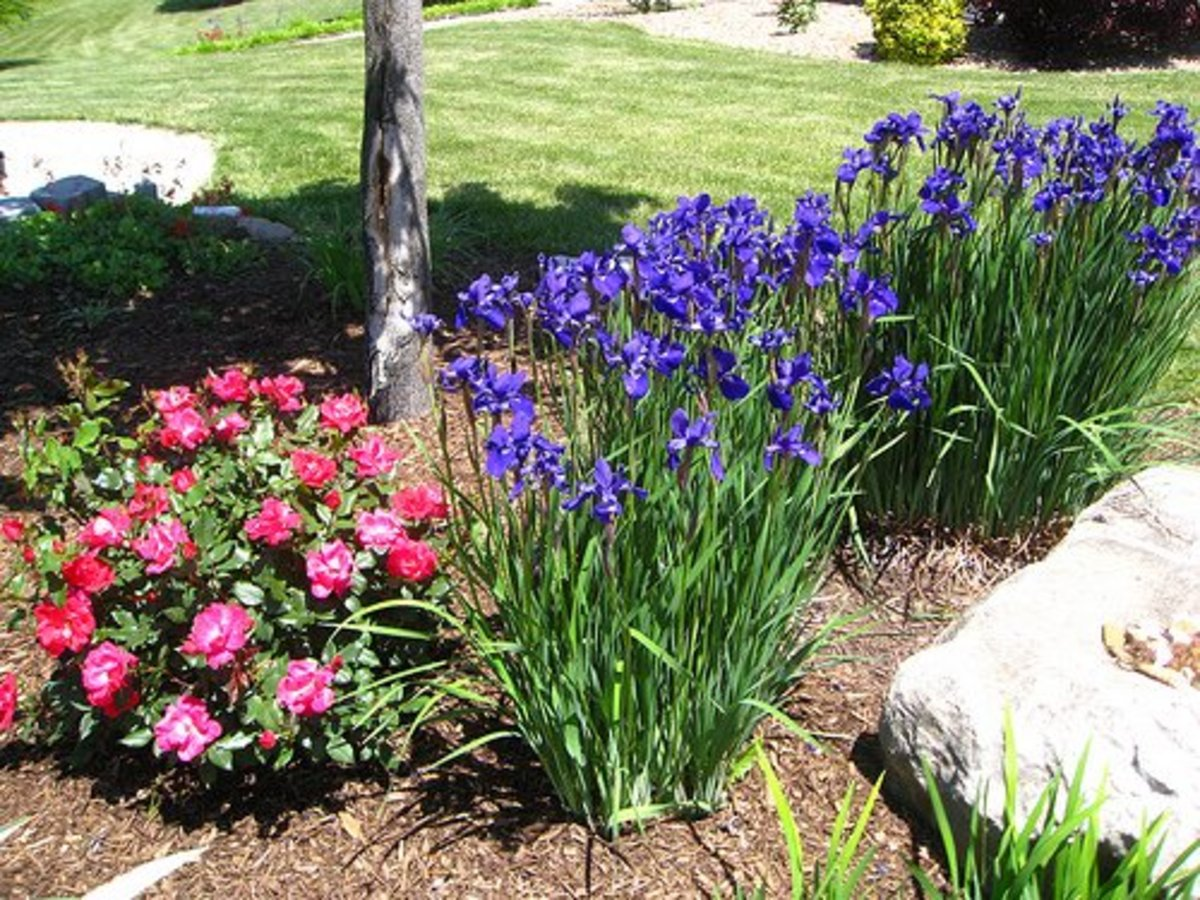Late Spring/Early Summer Bloomers: Peonies and Siberian Iris