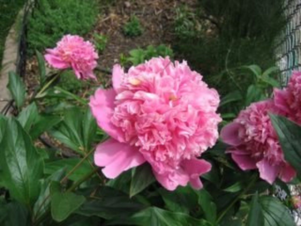 Old fashioned, fullblown, and fragrant peonies