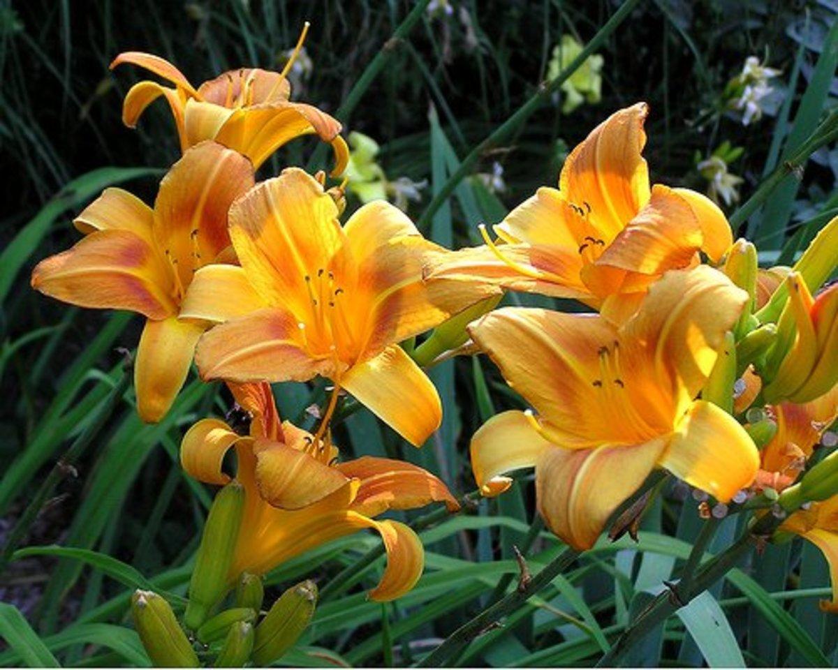 Golden, yellow, and orange are common hemerocallis hues.