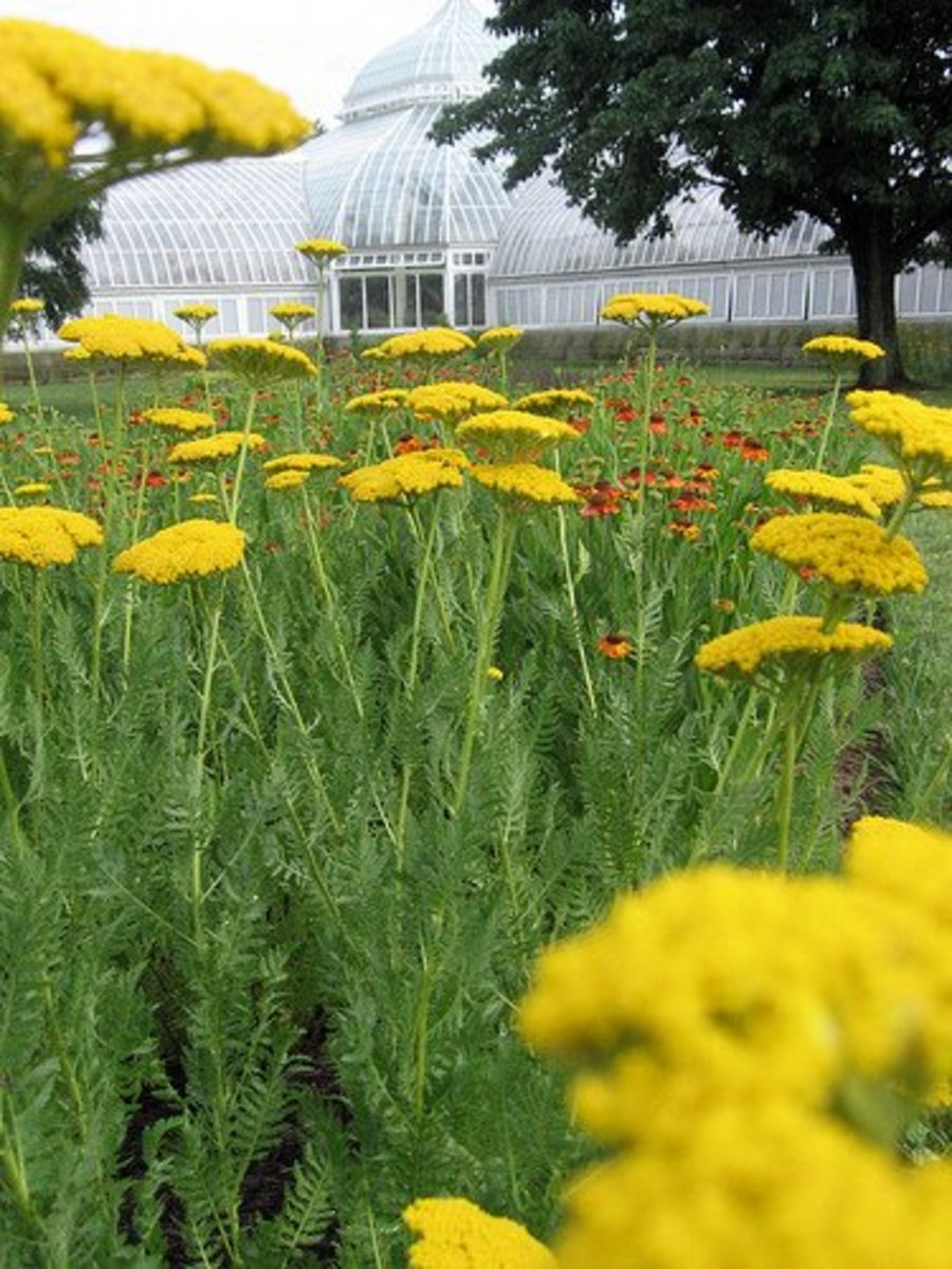 Yarrow at Phipps