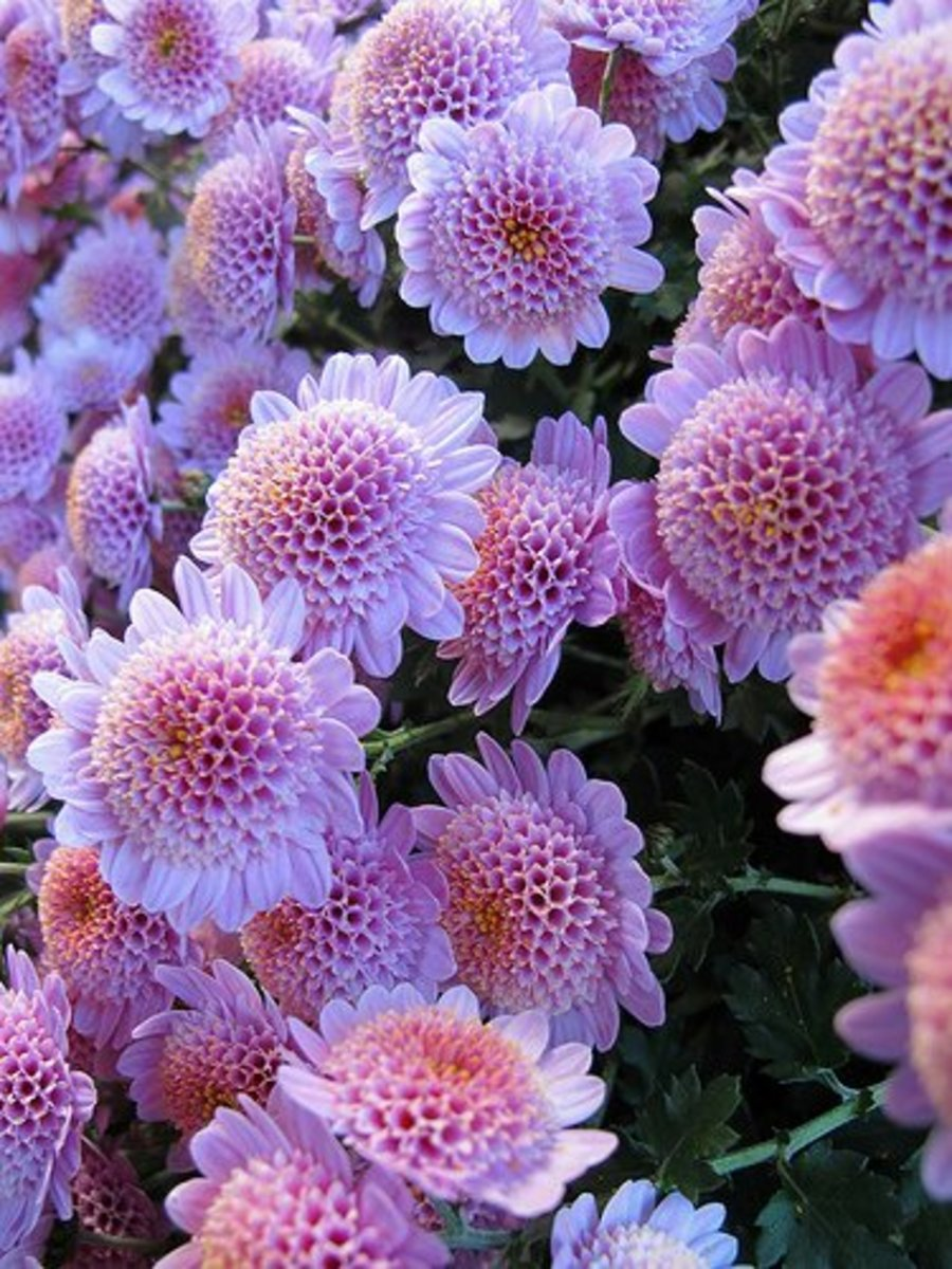 Cushion mums are the type best grown in perennial gardens. They are available in many colors and forms.