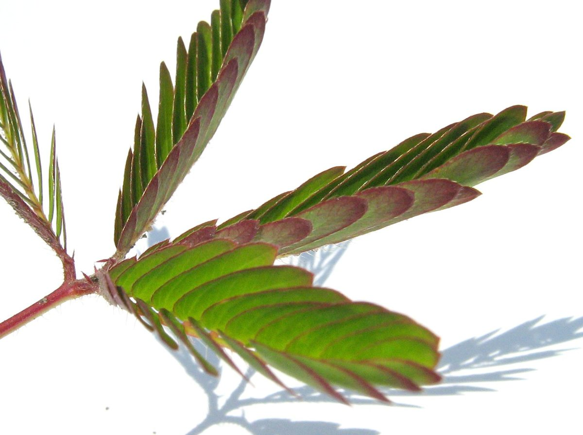 The shrinking leaves of a mimosa pudica plant