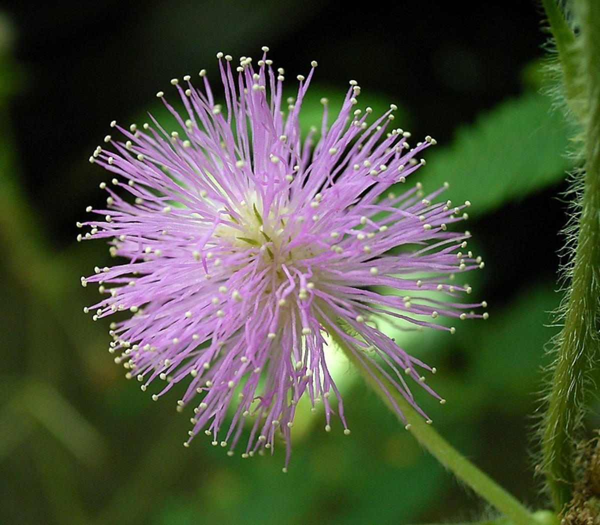 Close up of a mimosa pudica flower