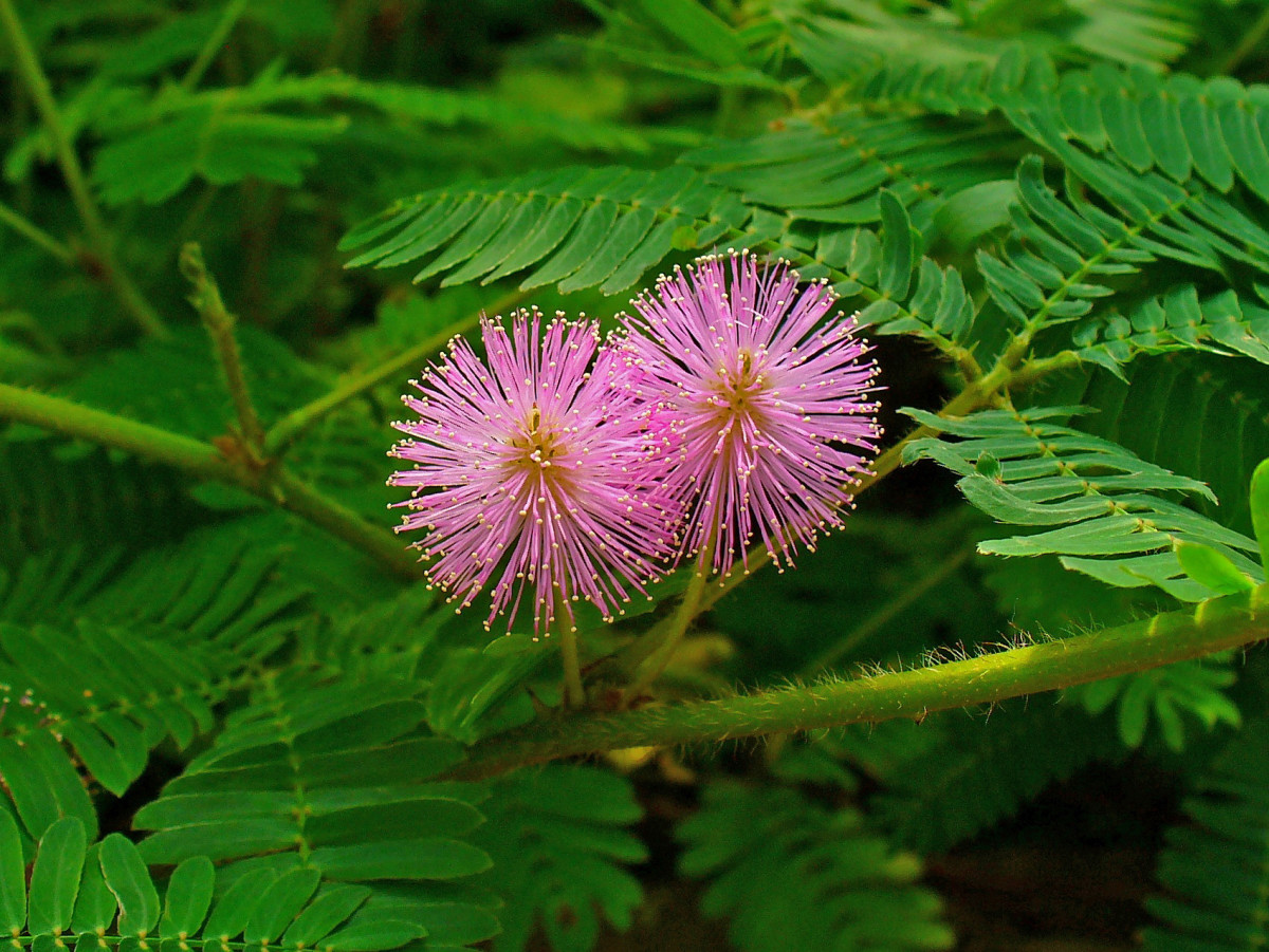 The Touch-Sensitive Plants Known as Mimosa Pudica or Touch-Me-Not