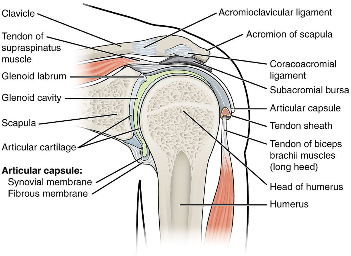 The supraspinatus tendon runs from the muscle body through quite a narrow gap under the acromion.