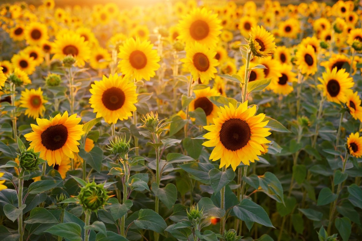 Sunflower Tournesol