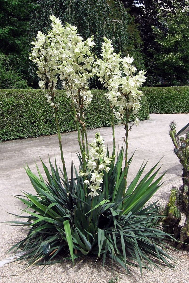Yucca is seldom bothered by deer thanks to its leathery leaves