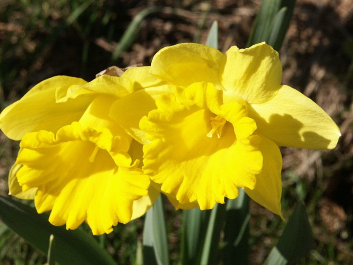 What Are The Differences Between Daffodils Narcissus And