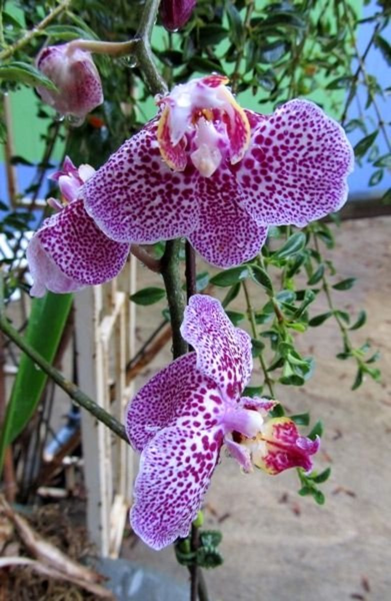 It's very important to provide orchids with filtered, non-direct light.