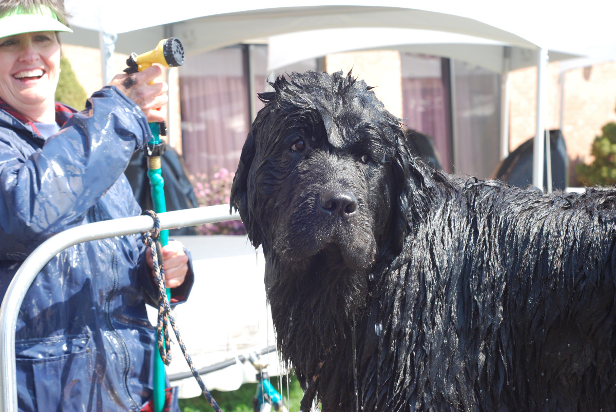 How to Bathe and Shampoo Your Newfoundland Dog