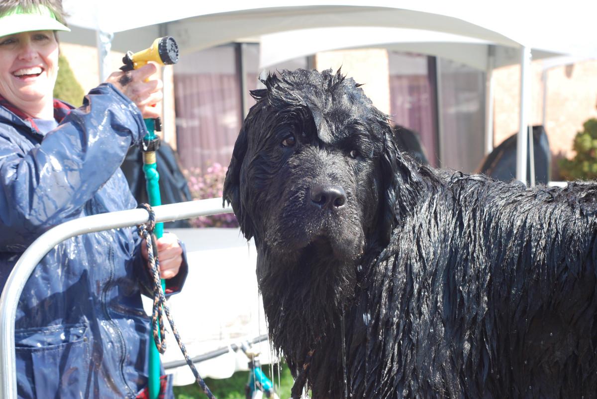 A Newfoundland getting a bath.