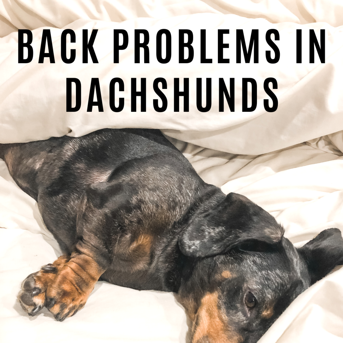 Dachshund Back Problems and How to Prevent Jumping