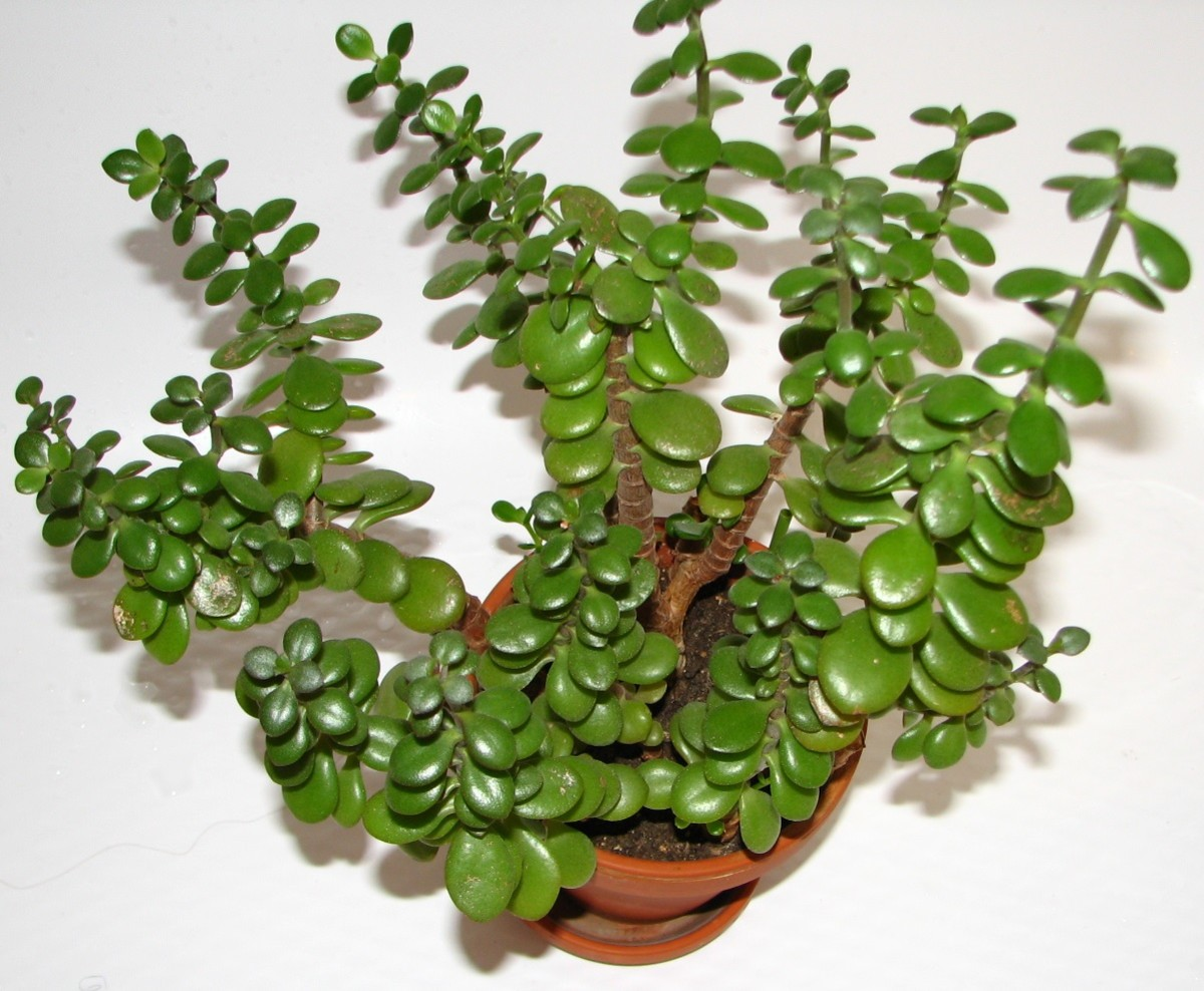 Jade Plant Care And Propagation Dengarden