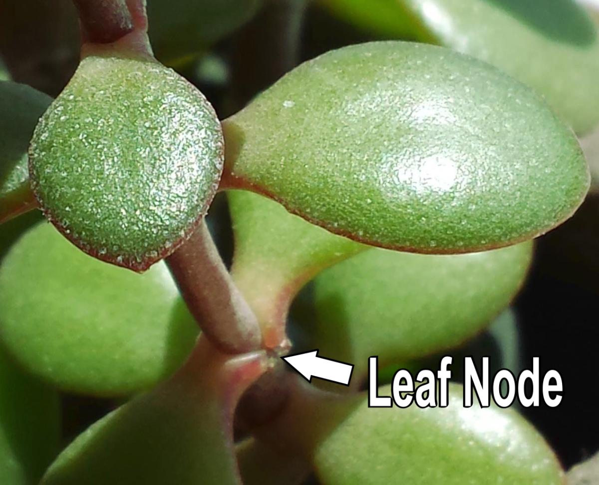Leaf nodes on a plant stem.
