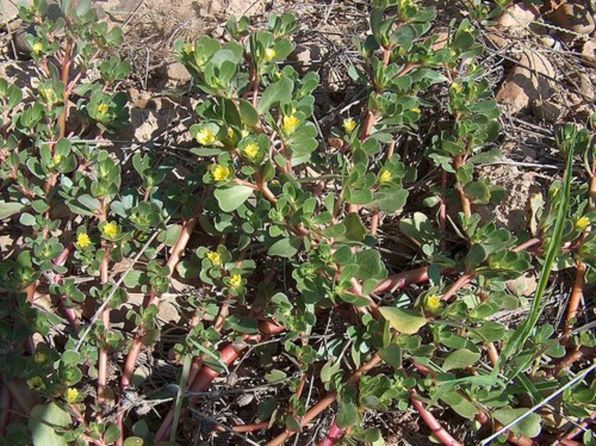 Purslane flowers are small and yellow.
