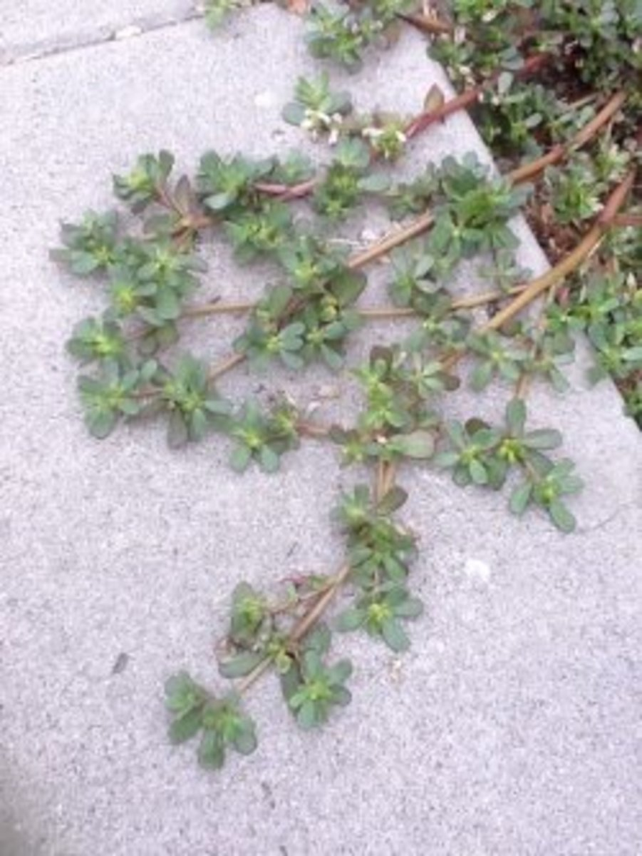 Purslane: A Nutritious and Edible Weed