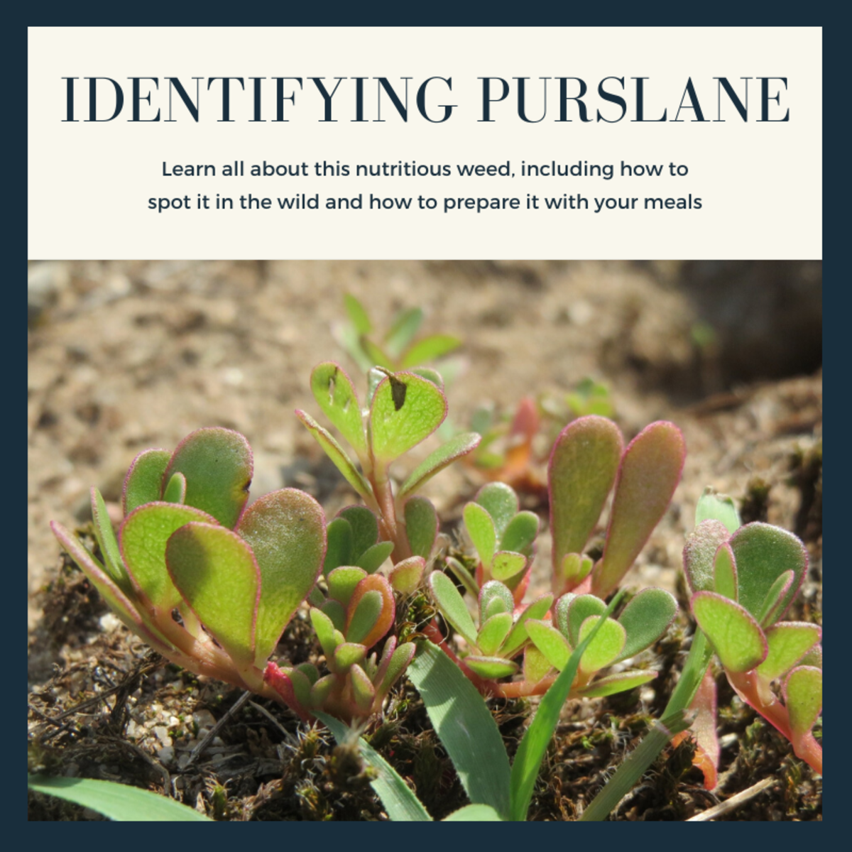 This article will help you identify purslane and will also provide some recipes for how best to cook this edible wild plant.