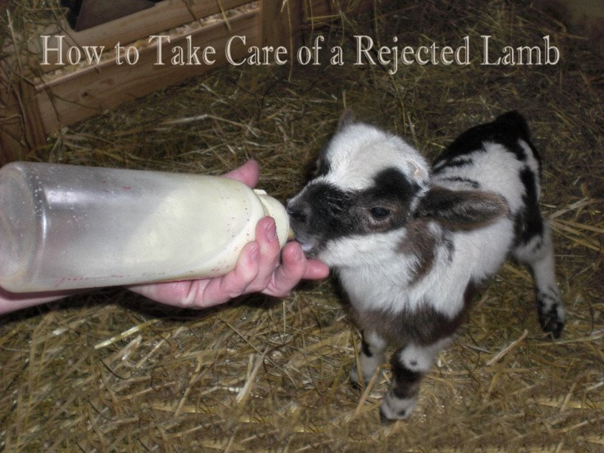 How to take care of a rejected lamb
