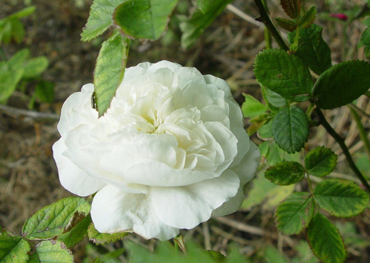 David Austin: Winchester Cathedral Rose