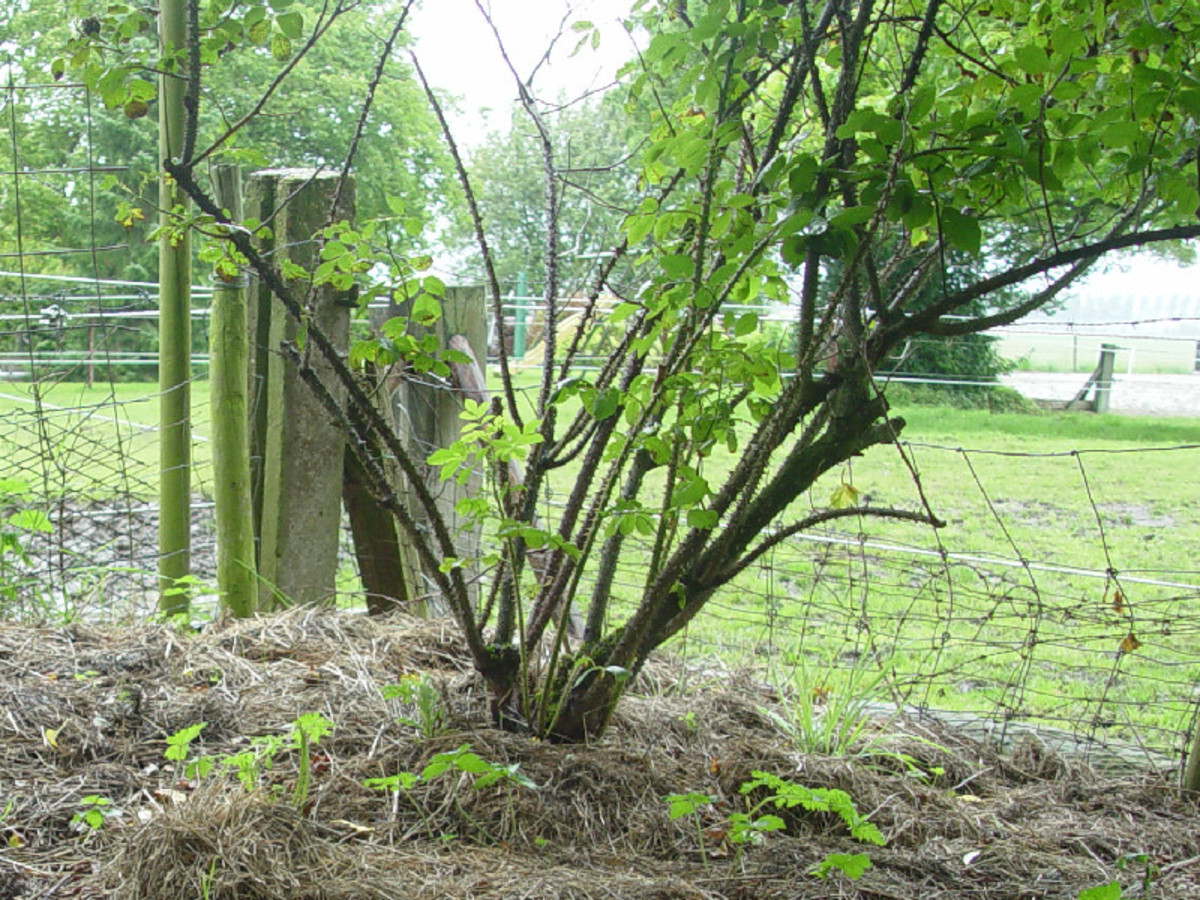 Mulching the roses with straw.
