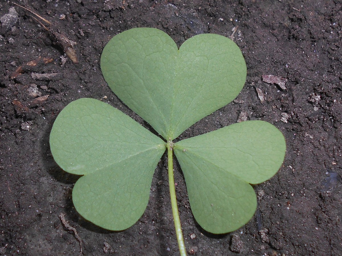 Wood sorrel can often be confused with shamrocks.