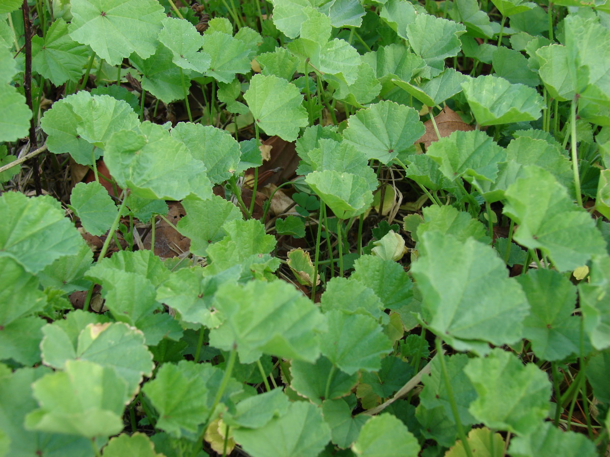 The leaves of the Malva parvlifora.