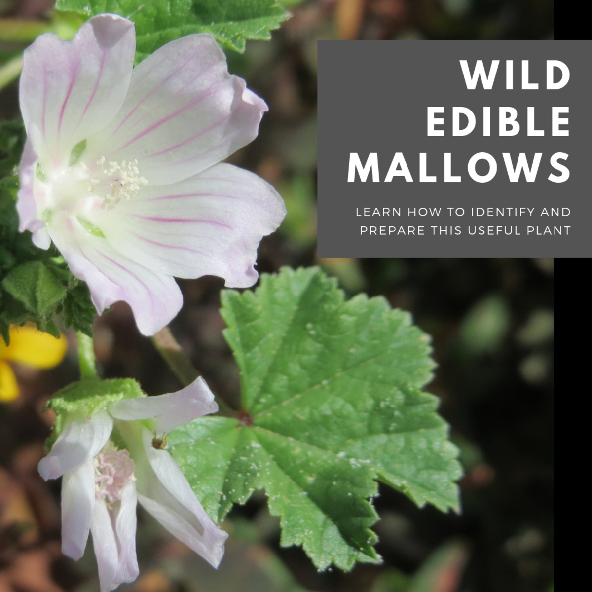 This guide will show you how to identify and prepare a few species of edible mallows, as well as provide background on where they come from and how they were named.