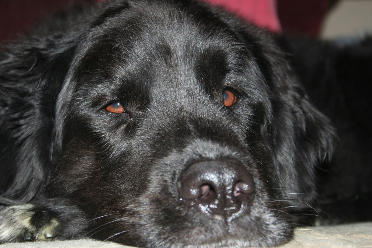 How to Care for Your Older Newfoundland Dog