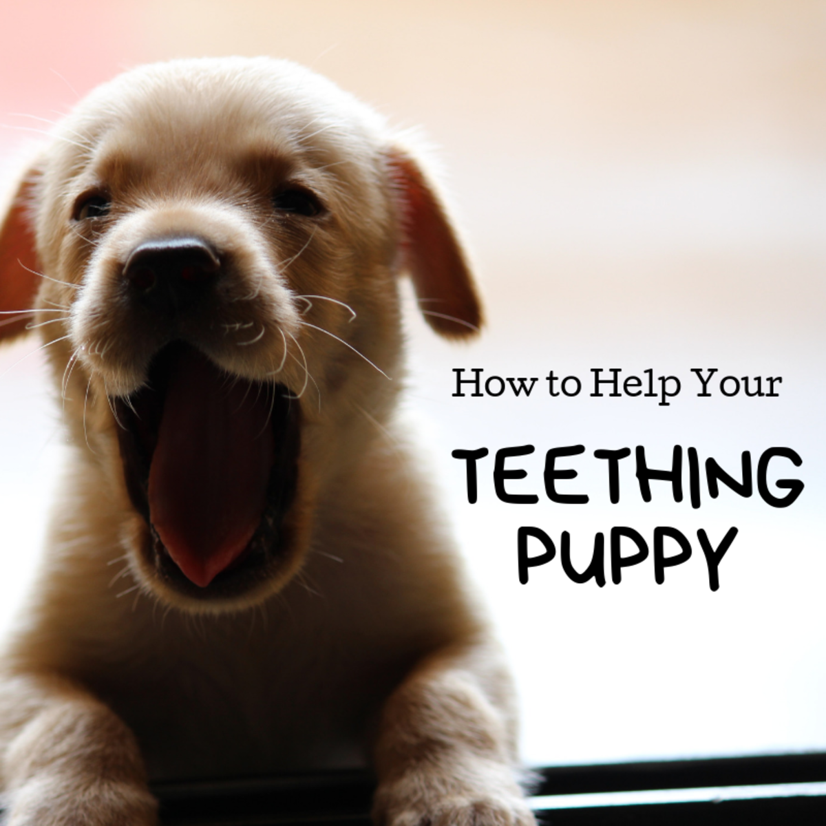 The teething process can be a pain to puppies and owners alike. Learn what you can do to keep your puppy happy and your hands and furniture safe.