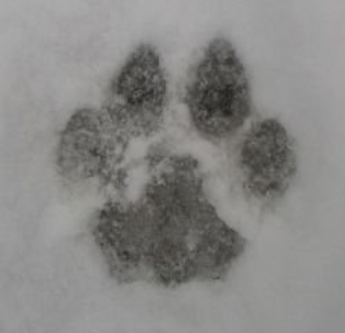 Animal Tracks Unit Study