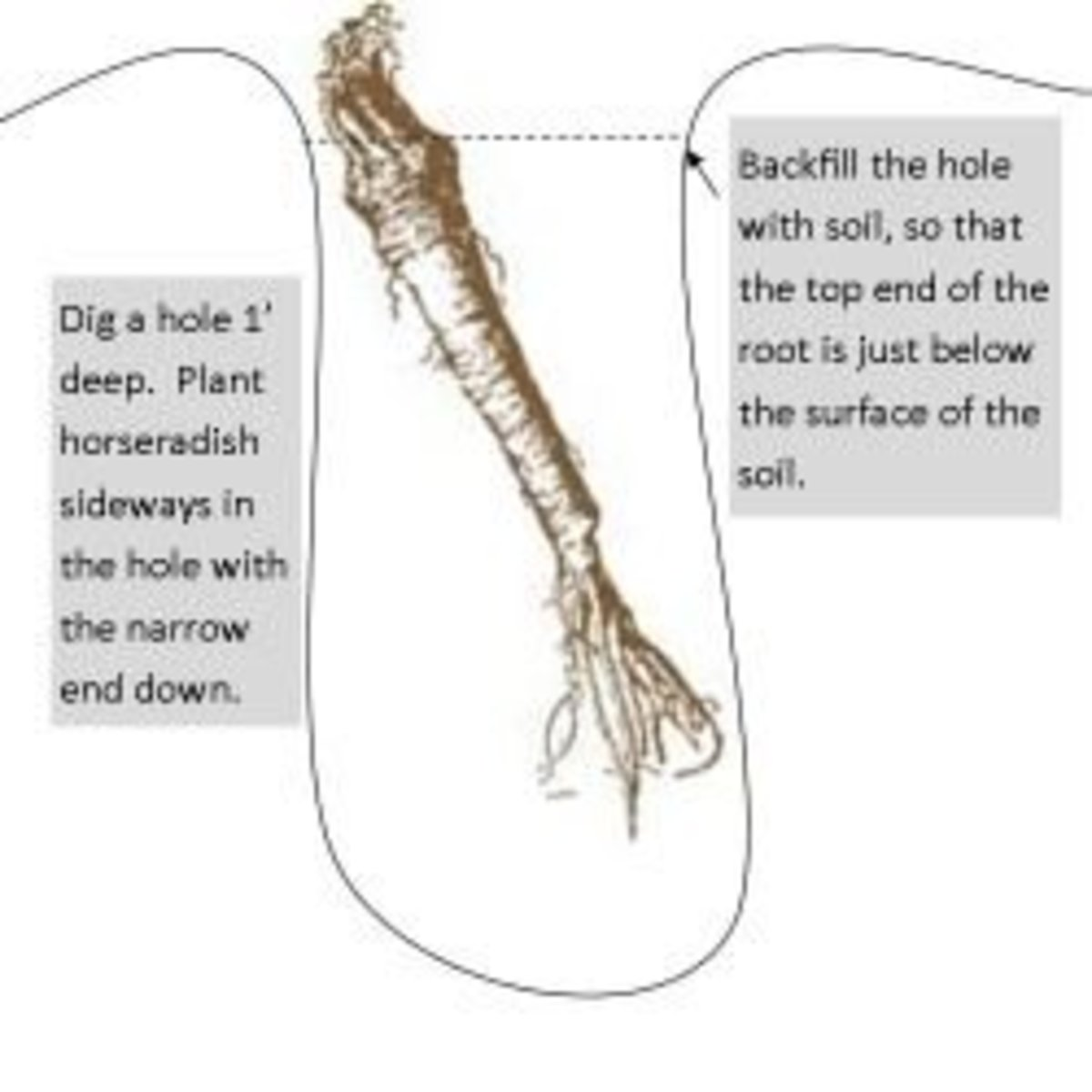 Here's a helpful little diagram to illustrate how to plant horseradish.
