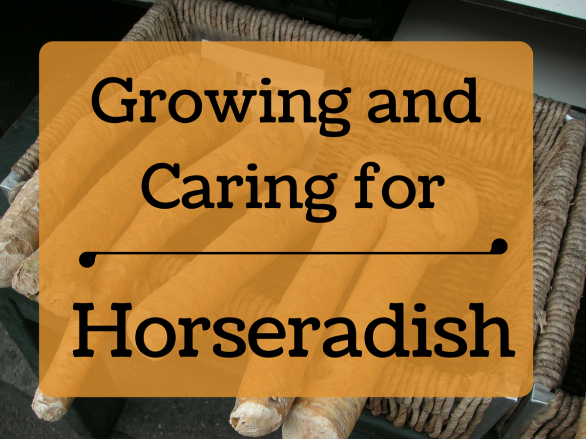 How to Plant and Grow Horseradish