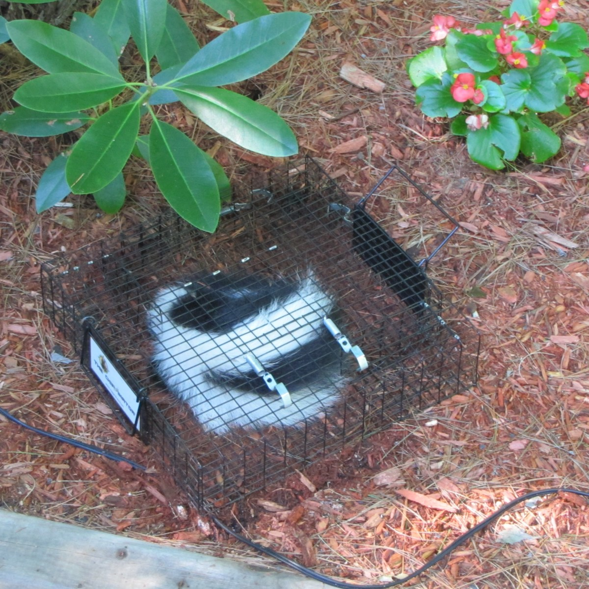 Last summer we acccidentally trapped a young skunk in the Chipmunkinator. Now, I close it at night to prevent this from happening. I was amazed that this larger animal could get in through the chipmunk sized entry.
