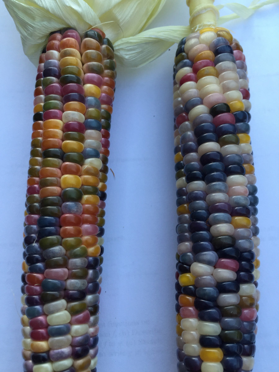 Attempting to get onto the long waiting list at Seeds Trust is one of the few ways that you can hope to obtain some seeds of the amazing glass gem corn.