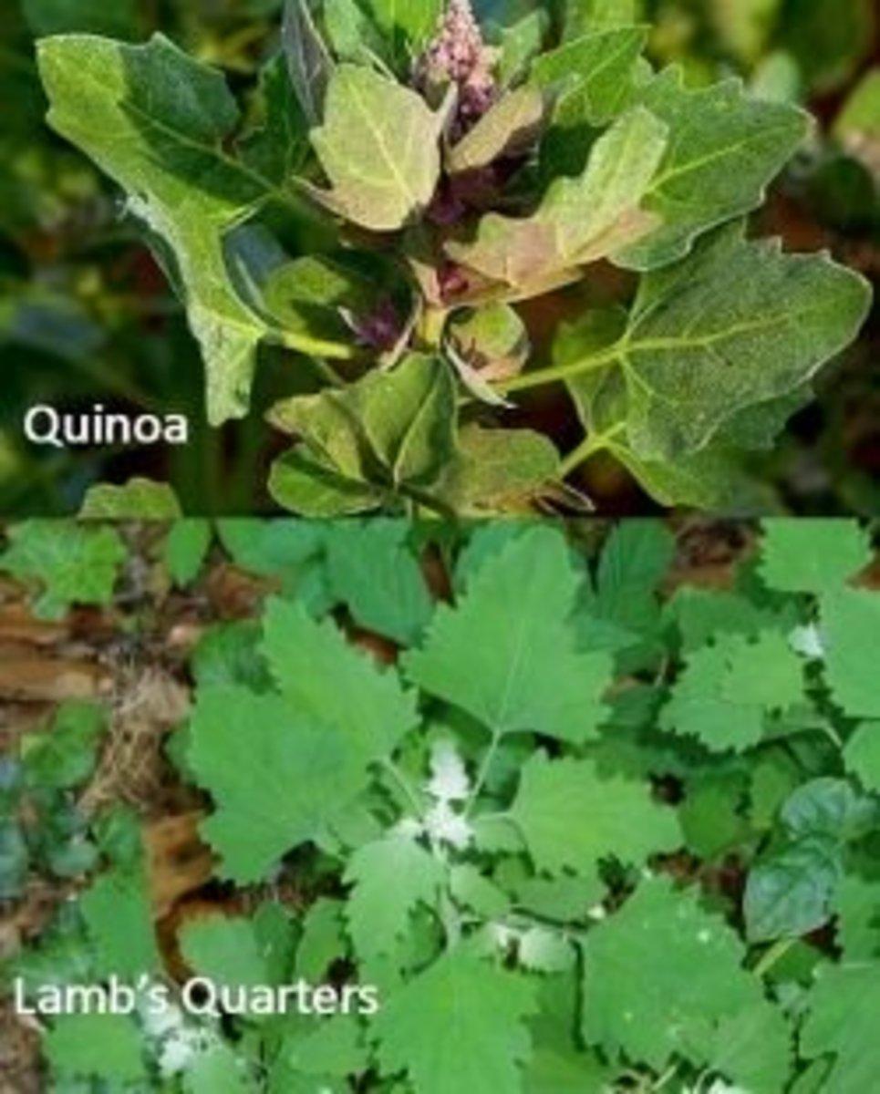 Quinoa vs. Lambsquarters